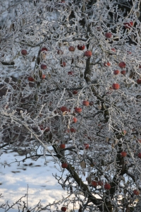 Frozen apples in the neighbor's garden.
