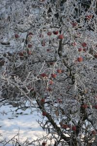 Frozen apples in the neighbor's garden.