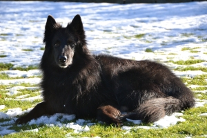 Zagan, a lovely, well behaved and loyal Belgian Shepherd.