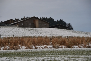 Pampas grass with farm on the hill.
