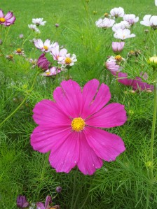 Her pride and joy, gorgeous cosmos, the hot pink ones are enormous and certainly my favorite!